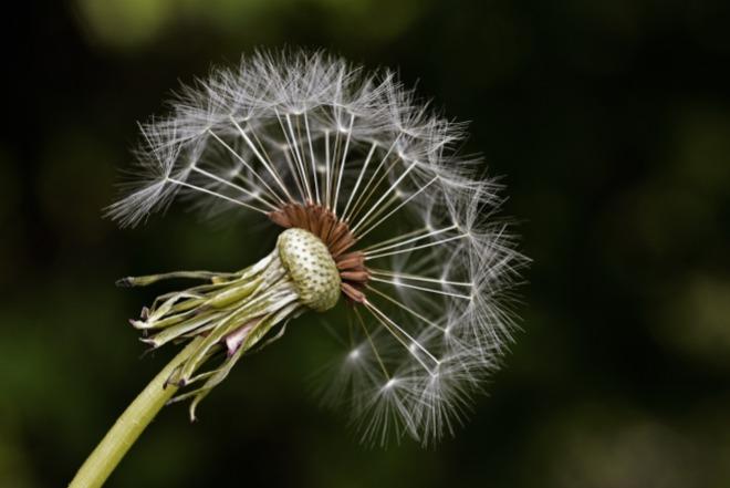 milkweed-561041_1920