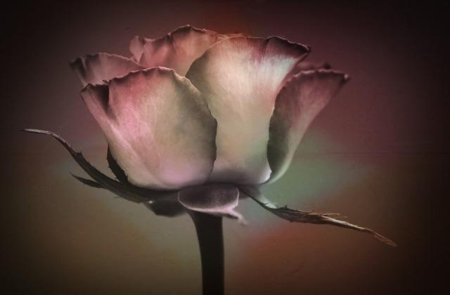 rose-617615_1920